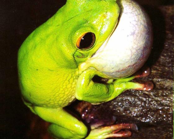 Odgłos godowy u żab