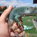 Timon tangitanus – jaszczurka berberyjska*