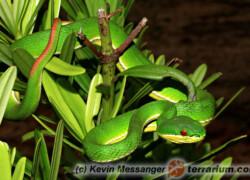 Trimeresurus albolabris – trwożnica pospolita, grzechotnik bananowy*