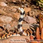 Aspidelaps lubricus – kobra koralowa