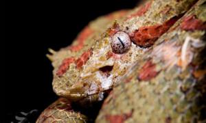 Bothriechis schlegelii – żararaka rogata