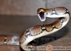Coelognathus helena – wąż Heleny