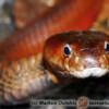 Naja pallida - kobra czerwona