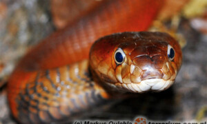 Naja pallida – kobra czerwona