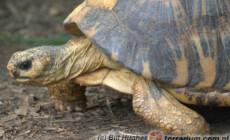 Astrochelys radiata – żółw promienisty