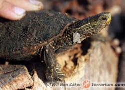 Mauremys caspica – żółw kaspijski