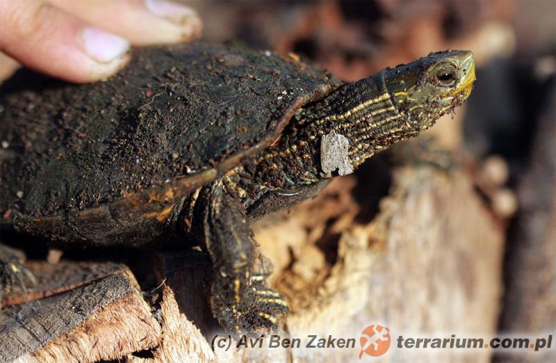 Mauremys caspica - żółw kaspijski
