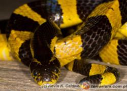 Bungarus fasciatus – krajta żółtopręga