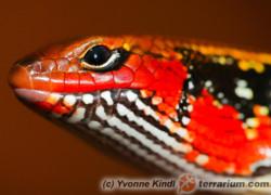 Lepidothyris (Riopa) fernandi – scynk ognisty