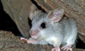 Thallomys nigricauda – akacjoszczur czarnoogonowy