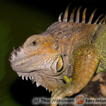 Iguana iguana – legwan zielony