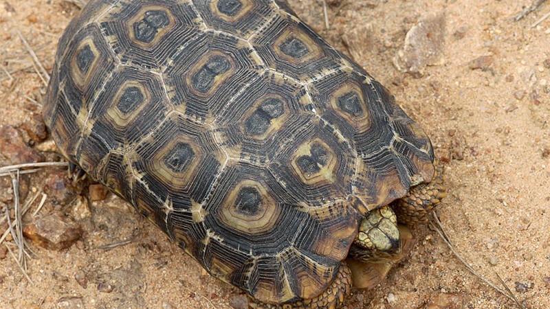 Kinixys belliana – żółw Bella*, zawiasek gładkobrzegi**
