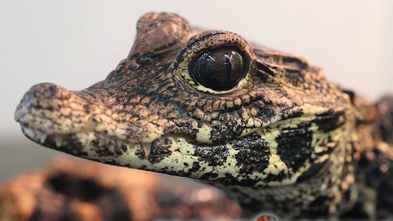 Osteolaemus tetraspis – krokodyl krótkopyski