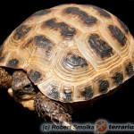 Testud horsfieldii – żółw stepowy