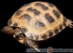 Testudo (Agrionemys) horsfieldii – żółw stepowy