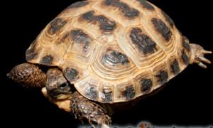 Testudo horsfieldii – żółw stepowy