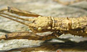 Lamponius guerini – straszyk gwadelupski