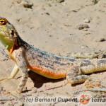 Agama aculeata – afrykańska agama karłowata*