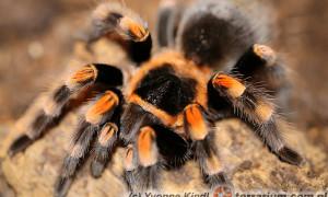 Brachypelma hamorii – ptasznik pomarańczowokolanowy