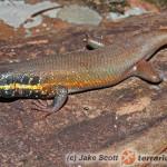 Trachylepis (Mabuya) quinquetaeniata – mabuja tęczowa