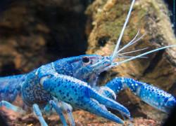Procambarus alleni – rak florydzki