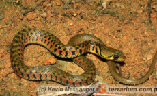 Xenochrophis piscator – zaskroniec indyjski