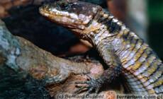 Cordylus tropidosternum – szyszkowiec tropikalny