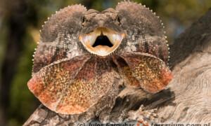 Agama kołnierzasta (Chlamydosaurus kingii) odstrasza przeciwników poprzez nadymanie fałdu skórnego