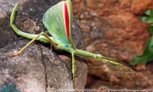 Eurycnema goliath