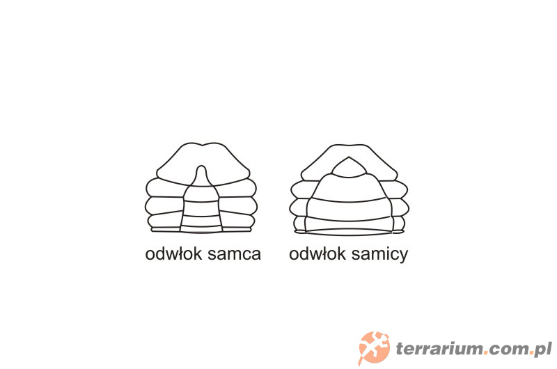 Dymorfizm płciowy - Cardisoma armatum - krab tęczowy