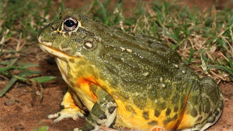 Pyxicephalus adspersus – żaba byk*, żaba olbrzymia**, afrykańska żaba byk***