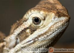Pogona henrylawsoni – agama brodata karłowata*