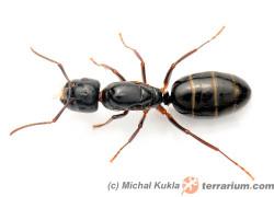 Camponotus fallax – gmachówka pniowa