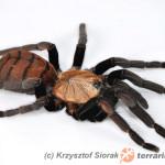 Chilobrachys fimbriatus – raport rozmnożeniowy