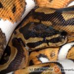 Python regius – pyton królewski