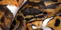 Waran stepowy, pyton królewski oraz Pseudemys peninsularis jako gatunki inwazyjne w Hiszpanii
