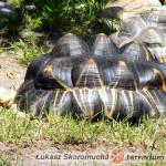 Promowanie poprawnego rozwoju kości u żółwi