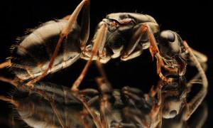 Formica fusca – pierwomrówka łagodna