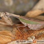 Acromantis formosana