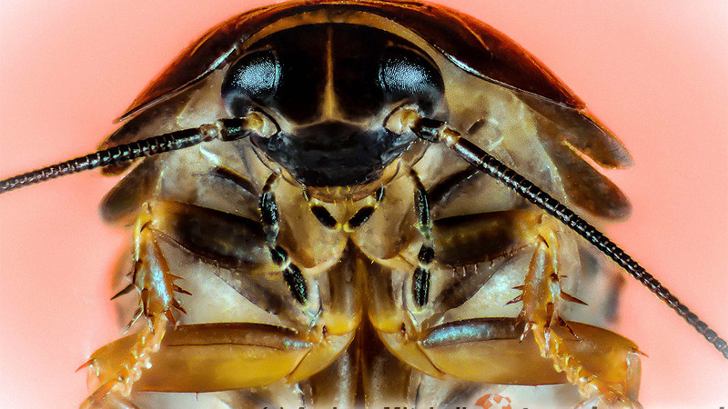 Phoetalia pallida – karaczan pallida*
