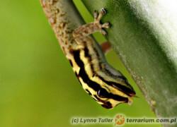 Lygodactylus picturatus – gekon żółtogłowy*
