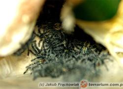 Ybyrapora diversipes – raport rozmnożeniowy