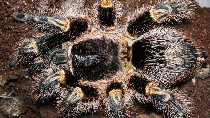Grammostola pulchripes