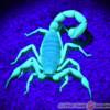 Skorpion pod światłem UV - Hadrurus anzaborrego