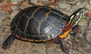 Chrysemys picta – żółw malowany