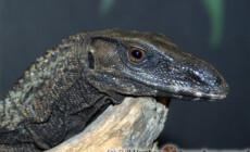Varanus rudicollis