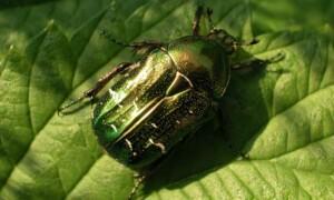 Cetonia aurata – kruszczyca złotawka