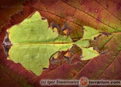 Phyllium giganteum – liściec olbrzymi