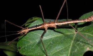 Neohirasea maerens – straszyk kolczasty
