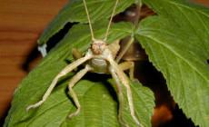 Eurycantha calcarata ssp. – straszyk indonezyjski